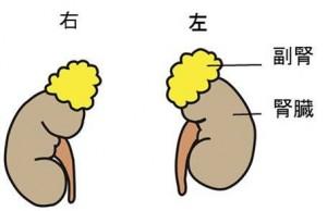 腎臓 副腎